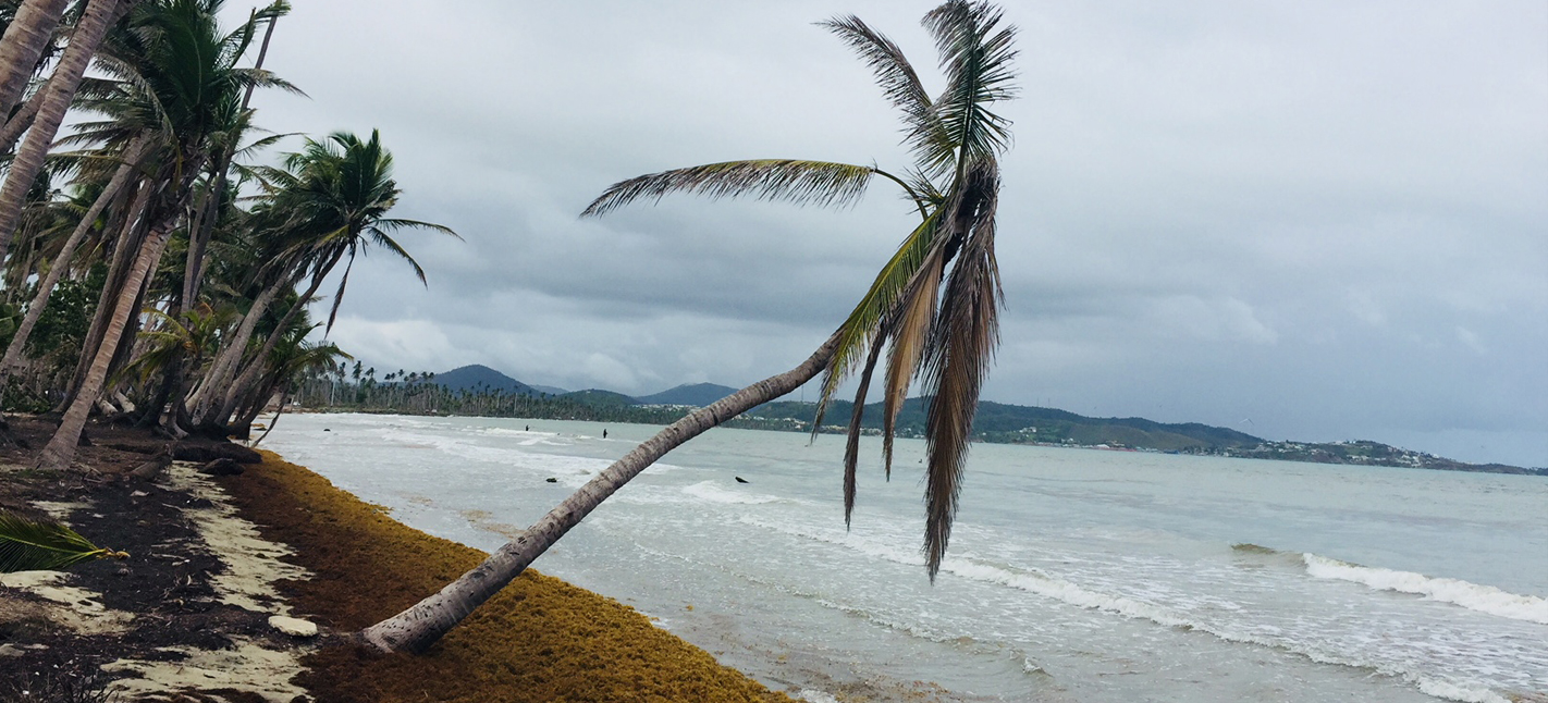 A tree on a beach just after Hurricane Maria hit.